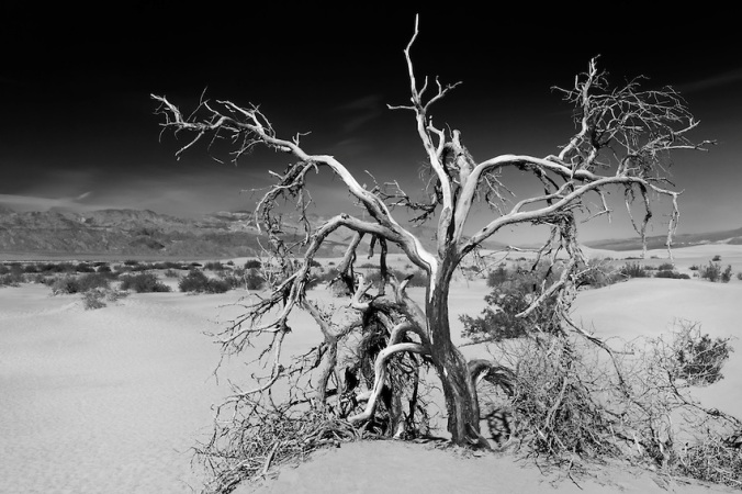 Dead Mesquite Tree - Mesquite Dunes - Death Valley, CA - Infrared Black & White